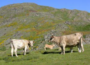 Gastronomía f8 Vacas sierra